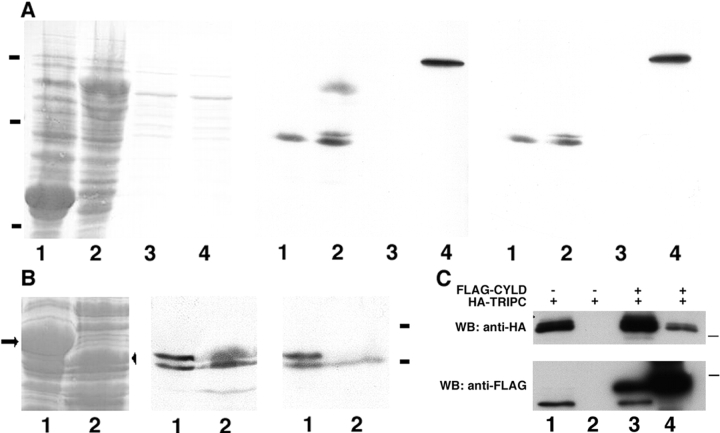 Analysis of the interaction between CYLD and TRIP. (A) Ponceau S staining (left) shows loading of total bacterial extracts expressing GST (lane 1) and GST-TRIP (lane 2), and RIPA extracts from 293T cells either nontransfected (lane 3) or transfected with HA-CYLD (lane 4). Far Western analysis after incubating membrane with extracts from 293T cells transfected with HA-CYLD (middle) or nontransfected (right). Bound proteins were detected with anti-HA antibody. Bars indicate molecular weights of 100, 50, and 20 kD (top to bottom). (B) Ponceau S staining (left) shows loading of total bacterial extracts expressing GST-TRIP-N (lane 1, arrow) and GST-TRIP-C (lane 2, arrowhead). Far Western analysis with extracts from 293T cells transfected either with HA-CYLD (middle) or HA-lacZ (right). Bound proteins were detected with anti-HA antibody. Bars indicate molecular weights of 60 and 40 kD (top to bottom). (C) Coimmunoprecipitation experiments demonstrate interaction of CYLD with TRIP-C in 293T cells. Cells were transfected with equal amounts of FLAG-CYLD and HA-TRIP-C expression vectors. Immunoprecipitates (lanes 2 and 4) obtained with anti-FLAG antibody were analyzed by Western blots with anti-HA (top) and anti-FLAG (bottom) antibodies. Lanes 1 and 3 show input. The bars on the right side mark the molecular weights of 20 (top) and 120 kD (bottom).