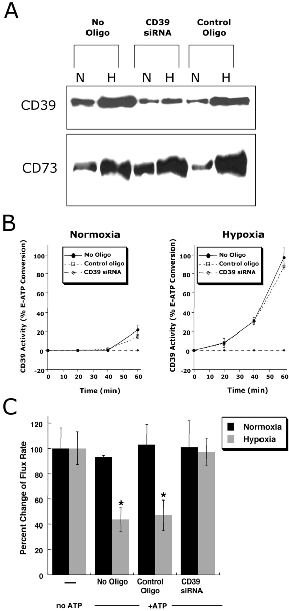 Role of CD39 in ATP-elicited changes of posthypoxic endothelial permeability. (A) HMEC-1 were loaded with CD39-specific siRNA, control ribonucleotide or mock treated (control) and exposed to hypoxia or normoxia (48 h). Monolayers were washed, surface protein was biotinylated, and cells were lysed. CD39 was immunoprecipitated and resolved by SDS-PAGE, and resultant Western blots were probed with avidin-peroxidase. As a control for specificity, CD73 protein induction by hypoxia was assessed in parallel. (B) Influence of CD39 suppression by siRNA on functional surface protein. HMEC-1 were loaded with CD39-specific siRNA, control-ribonucleotide, or mock treated and CD39 activity was determined by HPLC analysis of E-ATP conversion to E-AMP (in the presence of the CD73-inhibitor αβ-methylene-ADP). Data are derived from five to seven monolayers in each condition, and results are expressed as E-AMP: E-ATP ratio ± SD. (C) Influence of CD39 suppression by siRNA on endothelial barrier. HMEC-1 were loaded with CD39-specific siRNA, control ribonucleotide or mock treated (control), exposed to hypoxia or normoxia (48 h), and permeability to 70 kD FITC in the presence or absence of ATP (100 μM) was assessed (*, P