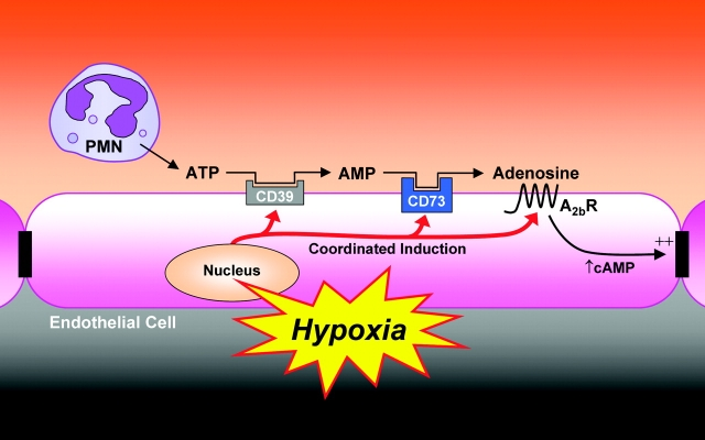 Proposed model of coordinated nucleotide metabolism and nucleoside signaling in posthypoxic endothelial cells: in areas of ongoing inflammation, diminished oxygen supply coordinates the induction of CD39, CD73, and AdoRA 2B . At such sites, activated PMN provide a readily available extracellular source of <t>ATP</t> that through two enzymatic steps results in the liberation of extracellular adenosine. Adenosine generated in this fashion is available for activation of surface endothelial adenosine receptors, particularly the AdoRA 2B . Postreceptor increases in intracellular cyclic <t>AMP</t> results in enhanced barrier function. As such, this protective mechanism may provide an innate mechanism to preserve vascular integrity and prevent fulminant intravascular fluid loss.
