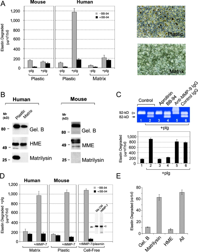 """Matrilysin """"deficiency"""" abrogates plasminogen-dependent elastolysis by human MDMs and mouse peritoneal macrophages. (A) Mouse peritoneal macrophages or human monocytes differentiated for 9 d atop the surface of either bacteriologic plastic dishes (Plastic) or a cell-derived ECM (Matrix; phase micrographs are shown on the right of A) were cultured with elastin suspended in transwell inserts as described in Fig. 1 in the absence or presence of 50 μg/ml plasminogen (plg). Where indicated, macrophages were incubated with or without 5 μM BB-94. In the presence of plasminogen and BB-94, the release of radiolabel from elastin is due primarily to plasmin activity and can be reduced to background levels with aprotinin (unpublished data). Results are shown as μg elastin degraded/10 6 cells for 5 d (mean ± SEM; n = 3). (B) Secretion of elastolytic MMPs by human MDMs and murine macrophages as a function of in vitro culture conditions. Human MDMs differentiated atop surfaces of bacteriologic plastic (Plastic) or the cell-derived matrix (Matrix) were cultured under serum-free conditions for 48 h. Conditioned media was collected and analyzed by immunoblot for gelatinase B, human metalloelastase (HME), and matrilysin. Mouse macrophages were cultured in bacteriologic plastic dishes for 48 h under serum-free conditions and conditioned media was analyzed for MMPs by immunoblot as described in Fig. 1 . (C) Human MDMs were cocultured with [ 3 H]elastin and incubated alone (lane 1), with 50 μg/ml plasminogen (plg; lane 2), or plasminogen in the presence of aprotinin (lane 3), BB-94 (lane 4), anti–gelatinase B antibody (lane 5), or normal mouse <t>IgG</t> (both 50 μg/ml; lane 6). MMP-9 processing was assessed by gelatin zymography (top) and the effects on degradative activity were quantified (bottom). Results are expressed as μg elastin degraded/10 6 cells for 5 d (mean ± SEM; n = 3). (D) Human MDMs differentiated atop a cell-derived matrix (Matrix) or mouse peritoneal macrophages culture"""