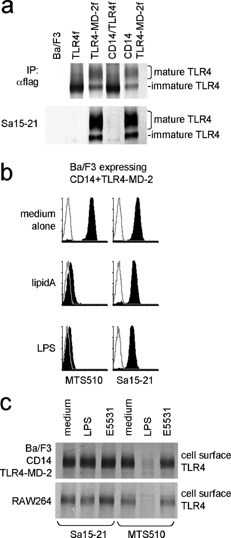 A novel mAb to TLR4-MD-2 reveals the LPS-triggered change of cell surface TLR4-MD-2. (a) Immunoprecipitation with anti-flag (top) or Sa15-21 (bottom) was conducted with Ba/F3 transfectants expressing the indicated molecules (Materials and Methods). The precipitates were probed with rabbit anti–mouse TLR4 sera followed by goat anti–rabbit alkaline phosphatase. Only immature, smaller TLR4 is detected in cells expressing TLR4 alone (top, TLR4f and CD14/TLR4f), because TLR4 without MD-2 cannot reach the cell surface. (b) Ba/F3 transfectants expressing CD14 and TLR4-MD-2 were stimulated with medium alone, 1 μg/ml lipid A, or 1 μg/ml LPS at 37°C for 30 min. Cells were stained with biotinylated MTS510 mAb or Sa15-21 as indicated, followed by streptavidin-PE. Open histograms depict staining with streptavidin-PE alone. (c) Ba/F3 cells expressing TLR4-MD-2 and CD14 (top) or RAW264 (bottom) were stimulated with medium, 2 μg/ml LPS, or 2 μg/ml lipid A antagonist E5531 as indicated at 37°C for 30 min. After washing, cells were subjected to cell surface biotinylation, detergent lysis, immunoprecipitation with MTS510 mAb (right three lanes) or Sa15-21 mAb (left three lanes), SDS-PAGE (7.5% polyacrylamide under nonreducing conditions), and electroblotting. Precipitated cell surface TLR4 was probed with streptavidin–alkaline phosphatase conjugate.