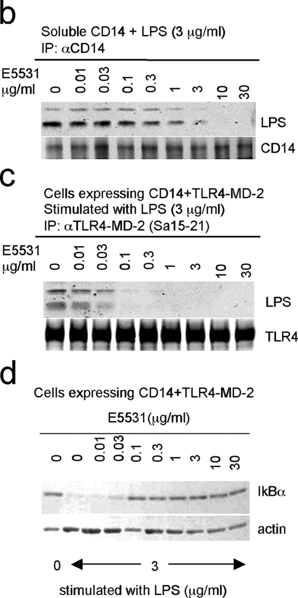 E5531 acts on LPS interaction with TLR4-MD-2 at a concentration that does not affect LPS binding to mCD14. (a) Ba/F3 cells expressing TLR4-MD-2 and CD14 were pretreated with or without E5531 (indicated concentration) at 37°C for 30 min. Cells were stimulated with medium alone or 3 μg/ml LPS at 37°C for 30 min. After washing, cells were stained with biotinylated MTS510 mAb followed by streptavidin-PE (left and middle columns), or with anti-LPS followed by goat anti–mouse IgG-FITC (right column). Open histograms depict staining with the secondary reagent alone. (b) 3 μg/ml LPS with indicated concentrations of E5531 was added to the supernatant from Ba/F3 cells expressing CD14. sCD14 in the supernatant was precipitated with anti-CD14 mAb, followed by immunoprobing with anti-LPS (top) or anti-CD14 (bottom). (c) After treatment with E5531 and LPS as in panel a, cells were subjected to cell surface biotinylation, washing, detergent lysis, immunoprecipitation with Sa15-21, SDS-PAGE (polyacrylamide gel:18.0% for LPS and 7.5% for TLR4; under nonreducing conditions), and electroblotting. Precipitated LPS (top) and cell surface TLR4 (bottom) were probed with anti-LPS mAb or alkaline phosphatase–conjugated streptavidin, respectively. (d) After treatment with LPS and E5531 as in panel c, cells were subjected to detergent lysis, SDS-PAGE, electroblotting, and immunoprobing IkBα (top) or actin (bottom).