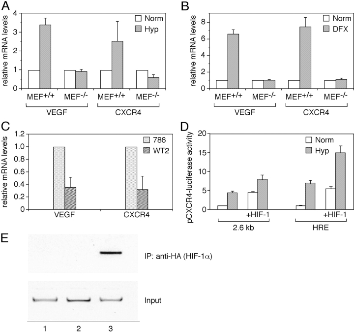 Role of HIF-1α in the regulation of CXCR4 gene expression. (A) Expression of CXCR4 in HIF-1α KO mouse embryo fibroblast. Mouse embryo fibroblast from wild type (MEF +/+ ) or knockout for the α subunit of HIF-1 (MEF −/− ) were incubated under normoxic or hypoxic conditions for 6 h, and total RNA was tested for VEGF and CXCR4 mRNA levels by real-time <t>PCR.</t> (B) DFX was used as Hyp-inducing agent. Results are the average of three independent experiments. (C) Expression of CXCR4 in VHL WT and mutated renal carcinoma cells. Expression of CXCR4 and VEGF mRNAs was tested by real-time PCR in the renal cancer cell line 786.0 (VHL mutated) and WT2 (in which a WT VHL has been reintroduced). Results are the average of three independent experiments. (D) HIF-1–dependent transcriptional activation of CXCR4 promoter. MCF-7 breast carcinoma cells were transiently transfected with a plasmid containing a 2.6 kb fragment of the CXCR4 promoter linked to the luciferase reporter gene, with or without a HIF-1α expression vector. Cells were incubated under normoxic or hypoxic conditions for 24 h and evaluated for the luciferase activity. Results are the average of three independent experiments. (E) Hyp-induced HIF-1α recruitment to the CXCR4 promoter. <t>CAOV3</t> cells transfected with the p(HA)HIF-1α plasmid were cultured for 4 h in normoxic or hypoxic conditions. ChIP was performed to investigate the recruitment of HIF-1α on the CXCR4 promoter. (lane 1) Untransfected. (lane 2) Norm. (lane 3) Hyp.