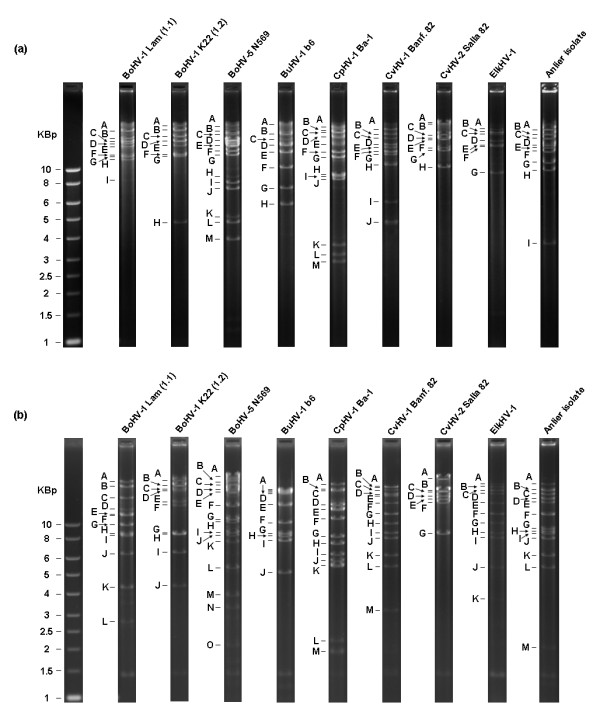 BamHI (a) and BstEII (b) restriction endonuclease profiles of the Anlier isolate and ruminant alphaherpesviruses.