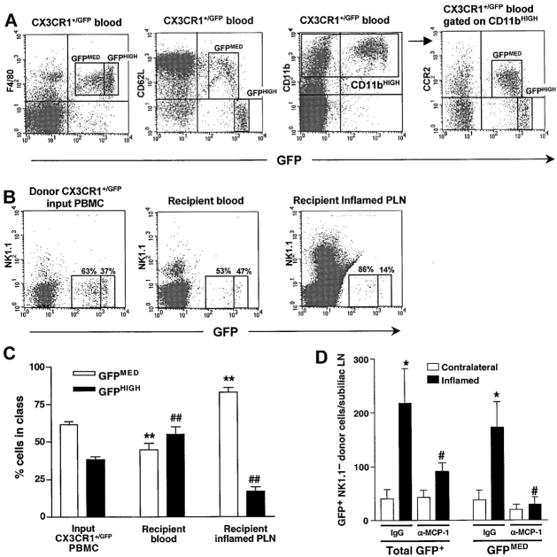 Short-term homing of adoptively transferred L-selectin + CCR2 + monocytes to inflamed PLNs is mediated by MCP-1. (A) Flow cytometry of PBMCs from CX3CR1 +/GFP knockin mice stained for the monocyte-macrophage markers F4/80 or CD11b (Mac-1) reveals two populations of GFP + leukocytes based upon differential expression of GFP, L-selectin (CD62L), and CCR2. The F4/80 + GFP − cells were identified as eosinophils by their high side scatter (data not shown). (B) Flow cytometric analysis of leukocyte populations in homing assays. CX3CR1 +/GFP PBMCs were injected intravenously into wild-type recipients 5–7 d after induction of skin inflammation by CFA/KLH injection. 4 h later, GFP + donor populations in recipient blood and inflamed PLNs were compared with input PBMCs. To avoid counting of contaminating GFP + NK cells, all samples were stained with anti-NK1.1. Numbers in dot plots indicate the percentage of GFP + cells in the GFP MED and GFP HIGH gates in one representative experiment (out of 6). (C) GFP MED cells (white bars), but not GFP HIGH cells (black bars) were preferentially recruited to inflamed PLNs. Data presented as mean ± SEM, n = 6 mice per group. ** P