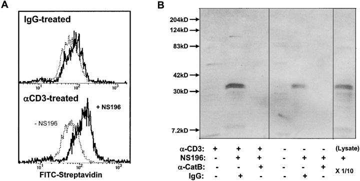 Surface cathepsin B on TCR-activated T cells is active and the target of NS-196. (A) Detection of biotinylated NS-196 on the CTL surface after degranulation. Flow cytometry of CD8 + cloned human CTL RS-56 after culture on wells coated with anti-CD3 or isotope control for 2 h, followed by treatment with or without 1 μM NS-196, which was detected by FITC-streptavidin. (B) Identification of cathepsin B as the molecular target of NS-196. CTL clone RS-56 was incubated for 2 h on anti-CD3– or IgG-coated wells, followed by incubation with or without 0.1 μM NS-196. Cells were lysed with Triton X-100 and immunodepleted with beads containing anticathepsin B antibody or control rabbit IgG. The remaining lysate was run on a 12% nonreduced SDS gel, blotted onto nitrocellulose, probed with Streptavidin-HRP, and developed using ECL. The right lane shows the biotinylation pattern when the whole CTL lysate was labeled with 0.1 μM NS-196 and run directly (1/10 of the cell-equivalent input of other lanes).