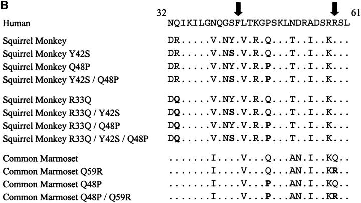 Predicted amino acid alignment of Ig domains 1 and 2 of New World monkey CD4 proteins. PCR primers specific for the 5′ and 3′ untranslated regions were used to amplify CD4 from cDNA generated from squirrel monkey or marmoset PBMCs. (A) The predicted amino acid sequences of these cloned CD4 molecules are aligned to the previously identified sequences of human, rhesus macaque, and murine CD4. The shaded boxes designate Ig domains 1 and 2. The solid line identifies the signal sequence, which is cleaved from the mature protein. Dots (.) denote residues identical to the human sequence and minus signs (−) denote deletions. Gray arrows denote residues that differ from the published squirrel monkey CD4 allele D86588 . GenBank/EMBL/DDBJ accession nos. for the sequences are as follows: human, M12807 ; rhesus, D63347 ; squirrel monkey, AF452617 ; common marmoset, AF452616 ; mouse, NM_013488. (B) The region of human CD4 that makes important contacts with the HIV-1 gp120 glycoprotein is aligned with the analogous region of squirrel monkey and common marmoset CD4 proteins. Phenylalanine 43 and arginine 59 (arrows) are particularly important residues for gp120 binding (references 45, 77, and 79). Changes introduced into the squirrel monkey and common marmoset CD4 molecules in this study are shown in bold.