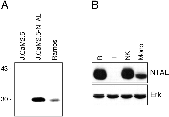 Expression of NTAL. (A) cDNA encoding human NTAL was expressed in J.CaM2.5 cells and the protein product was visualized by Western blotting of the transfectants detergent lysate as compared with Ramos cells (expressing endogenous NTAL). (B) Western blotting of the indicated subpopulations of human peripheral blood cells (immunostaining for NTAL or Erk; the latter was used as a loading control).
