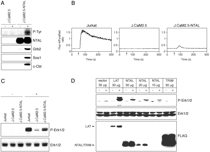 Functional analysis of NTAL in LAT-defective J.CaM2.5 transfectants. (A) NTAL immunoprecipitates obtained from unstimulated (−) or anti-CD3 stimulated (+) J.CaM2.5 mutants and J.CaM2.5-NTAL transfectants were analyzed by Western blotting for the presence of the indicated molecules. The top panel corresponds to tyrosine-phosphorylated NTAL (30 kD). (B) Wild-type Jurkat, J.CaM2.5, and J.CaM2.5-NTAL transfectants were stimulated by anti-CD3 IgM mAb (added at time points indicated by arrows) and increase of cytoplasmic Ca 2+ was measured. (C) Wild-type Jurkat, J.CaM2.5, and J.CaM2.5-NTAL transfectants were stimulated by optimally diluted anti-CD3 IgM mAb and after 5 min of activation Erk1/2 was detected in the cell lysates by Western blotting using anti-phospho Erk antibody; bottom panel represents control staining by anti-Erk. (D) J.CaM2.5 cells transiently transfected with the indicated FLAG-tagged constructs were stimulated for 2 min by anti-CD3 and anti-CD28 mAbs and activation of Erk1/2 was detected as in C (top panel); presence of equal amounts of Erk1/2 in all samples was ascertained (middle panel) and the level of expression of individual FLAG-tagged proteins was determined (bottom panel).