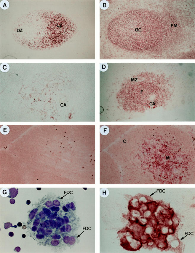 mAb 7D6 specifically stains FDC networks within tonsillar and splenic GCs or FDCs in isolated form. ( A ) Red mAb 7D6 staining of FDC networks within a GC of human tonsil ( DZ , dark zone; LZ , light zone; ×200). ( B ) Red antiCD21 staining of FDC networks and B lymphocytes within the follicular mantle ( FM ) and extrafollicular area ( A and B show the same secondary follicle on two serial sections). ( C ) mAb 7D6 staining of FDC networks within a primary follicle of human spleen ( CA , central arteriole; ×200). ( D ) anti-CD21 staining of FDC networks as well as follicular B cells and marginal zone ( MZ ) B cells ( C and D show the same splenic white pulp on two serial sections). ( E ) Negative mAb 7D6 staining on human thymus (×200). ( F ) Positive staining of anti-ICAM1/ CD54 on human thymus ( E and F show the same thymic area on two serial sections) ( C , cortex. M , medullar). ( G ) Giemsa staining of isolated FDC-lymphocyte clusters. FDC can be recognized as cells containing one or two big round nuclei with decondensed chromatin and clear nucleoli (×1000). ( H ) mAb 7D6 staining of isolated FDCs.