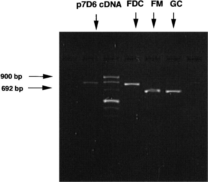 Detection of CD21S and CD21L mRNA by PCR among CD21 ++ CD14 + FDCs, IgD + CD38 − FM, and IgD − CD38 + GC B cells. The method for FDC isolation is detailed in Materials and Methods and in Fig. 3 . PCR primers used are indicated in the legend for Fig. 2 . p7D6 cDNA was used as a positive control.