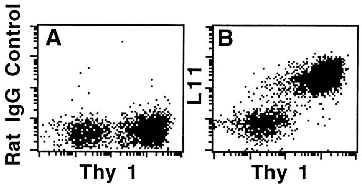 Two-color flow cytometric analyses of expression of L11 antigen by LN T cells (Thy 1 + ) and weak expression by Thy 1 − cells (predominantly B cells). MLN and PLN lymphocytes were immunostained with isotype-matched control mAb ( A ) or L11 ( B ), PE-mouse anti–rat IgG and finally FITC-conjugated anti–Thy-1. Cells were analyzed using a FACScan ® and CellQuest \xa9 software; x- and y-axis are log 10 fluorescence.