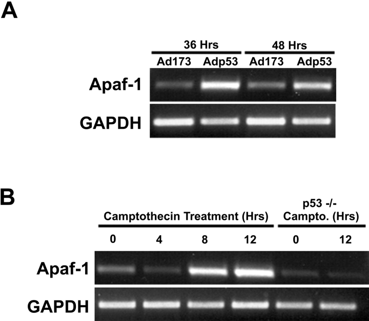 p53-mediated induction of Apaf1 mRNA in neurons. (A) <t>RNA</t> was extracted from neurons 36 or 48 h after infection with Ad-p53 or Ad-p53-173L and analyzed for Apaf1 or GAPDH expression using semiquantitative <t>RT-PCR.</t> (B) RNA was extracted from wild-type or p53-deficient neurons at the indicated times after treatment with 10 μM camptothecin and analyzed for Apaf1 or GAPDH expression using semiquantitative RT-PCR.