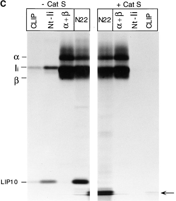 Role of Cat S on degradation of mouse Ii. ( A ) LHVS is a specific inhibitor of Cat S at the 1–10 nM range. Mouse splenocytes were incubated with the indicated concentrations of LHVS or leupeptin (1 mM) followed by addition of Cbz–[ 125 I]–Tyr– Ala–CN 2 . The bands corresponding to Cat S and to the high and low molecular weight forms of Cat B are indicated. ( B ) A cys protease different from Cat S converts LIP22 into LIP10. H-2 d splenocytes were pulse labeled for 30 min and chased for 240 min without ( control ) or with 1 mM leupeptin or 3 nM LHVS. N22 immunoprecipitates were loaded without boiling in 12.5% SDS-PAGE. ( C ) Cat S cleaves Ii NH 2 terminally of CLIP. H-2 d splenocytes were pulse chased in the presence of LHVS and immunoprecipitated with N22. The precipitate was resuspended in Cat S buffer and incubated with or without Cat S for 1 h at 37°C. After incubation, samples were boiled in 1% SDS, 1/5 loaded directly on gel, and the remainder diluted in lysis buffer and reimmunoprecipitated as in Fig. 1 B. The arrow at the right of the figure indicates the position of CLIP-containing fragments devoid of the NH 2 -terminal region of Ii.