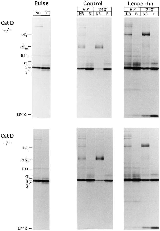 Maturation of I-A b proceeds normally in Cat D–deficient mice. Splenocytes from Cat D +/− ( top ) or Cat D −/− ( bottom ) littermates were pulse-chased in the absence or presence of leupeptin as indicated and I-A b molecules immunoprecipitated with mAb N22 and analyzed on 12.5% SDS-PAGE as in Fig. 1 B. The position of the I-A b αβ–LIP10 SDS-stable complex is indicated as αβl.