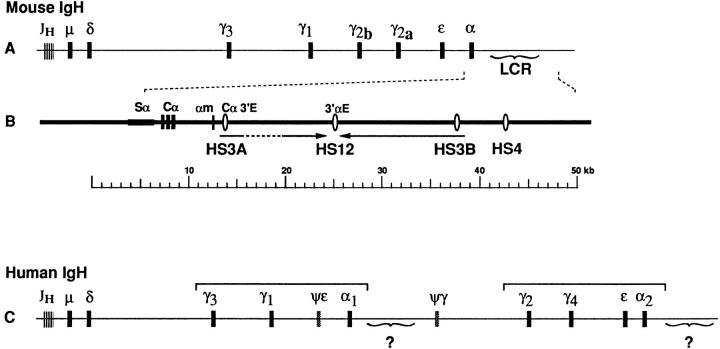 Comparison of IgsH loci of mouse and human. Line A shows a map of the murine IgH locus, from which the region downstream from Cα is expanded in line B. The murine enhancers designated Cα3′E ( 11 ) and 3′αE ( 9 ) are shown as vertical ovals, along with the DNase I hypersensitivity site designations ( 12 ). We have distinguished the two copies of HS3 sequence as HS3A and HS3B; these are included in a large palindrome ( arrows ) that flanks HS12, according to the sequence analysis of Chauveau and Cogné ( 13 ). Line C shows the human IgH locus, illustrating the γ-γ-ε-α duplication units ( brackets ) and the possibility of two regions homologous to the murine LCR.