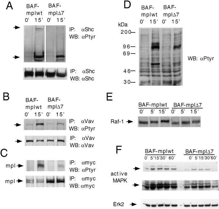 Effect of TPO stimulation on Shc, Vav, the receptor itself, Raf-1, and MAPK. Growth factor-deprived BAF-mplwt and BAF-mplΔ7 cells were either left untreated or stimulated with TPO for the indicated times and cell extracts were prepared. Immunoprecipitations were performed with antibodies to Shc ( a ), Vav ( b ), and myc ( c ) and the immunoprecipitates were blotted with antiphosphotyrosine antibodies ( a–c ). To confirm equal loading of protein, membranes were stripped and reprobed with the antibodies used for immunoprecipitations (lower panel of a–c ). In ( c ) a higher amount of c-mplΔ7 protein was immunoprecipitated. ( d ) Antiphosphotyrosine immunoblot of total cell lysates. ( e ) Cell lysates were immunoblotted with an antibody to Raf-1. The lower mobility of Raf-1 seen after stimulation with TPO in BAF-mplwt and BAF-mplΔ7 reflects the increased phosphorylation of Raf-1 on serine. ( f ) Cell lysates were immunoblotted with anti-active MAPK antibodies which recognize the active forms of Erk-1 and Erk-2 (different exposures of the same membrane are shown in the upper and middle panel). Membranes were stripped and reprobed with anti-Erk2 antibodies to confirm equal protein loading.