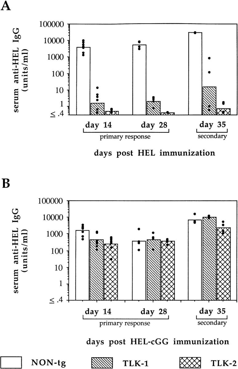 Anti-lysozyme <t>IgG</t> response in high-responder H-2 k/b F 1 nontransgenic and TLK transgenic mice. ( A ) Mice were immunized i.p. with 100 μg <t>HEL</t> in RIBI adjuvant. ( B ) Mice were immunized i.p. with 25 μg HEL-cGG in RIBI adjuvant. In both cases, day 35 data represent secondary responses 7 d after boosting with HEL/RIBI or HEL-cGG/ RIBI, respectively. HEL binding IgG was measured by ELISA in serum of individual mice ( dots ), and geometric means are shown in bars.
