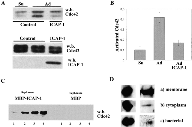 ICAP-1 inhibits and binds Cdc42. (A) COS cells transiently transfected with myc-Cdc42 together with control vector or myc–ICAP-1 were suspended by trypsin treatment, kept in suspension 2 h 30 min in serum-free DME (Su), and plated on fibronectin (5 μg/ml) for 1 h (Ad). Cdc42 activity assay was performed as described in Materials and methods using a GST-PAK-CD fusion protein that selectively binds to GTP-Cdc42. The bound GTP-Cdc42 was analyzed by Western blotting with a polyclonal antibody to Cdc42. To probe for Cdc42 and ICAP-1 expression, total cell lysates were blotted with the corresponding antibodies. (B) The amount of GTP-bound and total Cdc42 (A, bottom band of the doublets) was quantified by densitometric analysis, and the activation level of Cdc42 was expressed as a ratio between the values of GTP-bound and total Cdc42. Comparable results were obtained in three independent experiments. (C) Total protein extract of COS cells transfected with GST-Cdc42 was loaded on Sepharose coupled with MBP–ICAP-1 fusion protein or MBP as control. The proteins eluted with glycine-HCl, pH 3.0, buffer (fractions numbers 1-2-3-4) were analyzed by Western blotting with polyclonal antibody against Cdc42. Note that in A, Cdc42 is detected as a doublet of bands; comparison of the electrophoretic mobility indicates that the bottom band of the doublet in A comigrates with the band in C. The top band of the doublet is likely to represent an incompletely processed form of the GTPase. (D) Western blotting with an antibody against Cdc42 of the pooled fractions eluted from MBP–ICAP-1-Sepharose columns (right). The columns were loaded with equal amounts of GST-Cdc42 fusion protein obtained from either the membrane fraction of pCEFL-GST-Cdc42–transfected COS cells (a), the cytoplasmic fraction of the same cells (b), or bacterial lysate of E. coli producing the GST-Cdc42 fusion protein (c). The amount of fusion proteins loaded on the column are shown on the left as control for equal loading.