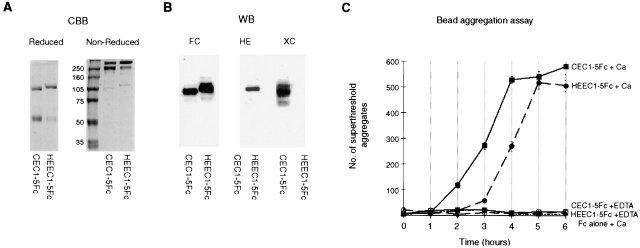 Purification and characterization of recombinant extracellular <t>cadherin</t> proteins. The extracellular domains of HE-cadherin and C-cadherin were both expressed in CHO cells as a COOH-terminal fusion proteins with the Fc part of human <t>IgG.</t> Recombinant proteins were purified from the media on a Protein A column. (A) Coomassie staining of HEEC1–5Fc and CEC1–5Fc run under reducing and nonreducing conditions. (B) Immunoblot analysis of the recombinant HEEC1–5Fc and CEC1–5Fc proteins using anti–human Fc, anti-HE cadherin, or anti–C-cadherin antibodies. (C) Bead aggregation assay: protein-A–coated beads coupled to HEEC1–5Fc or CEC1–5Fc were allowed to aggregate in the presence of Ca 2+ or EDTA for the indicated time period.