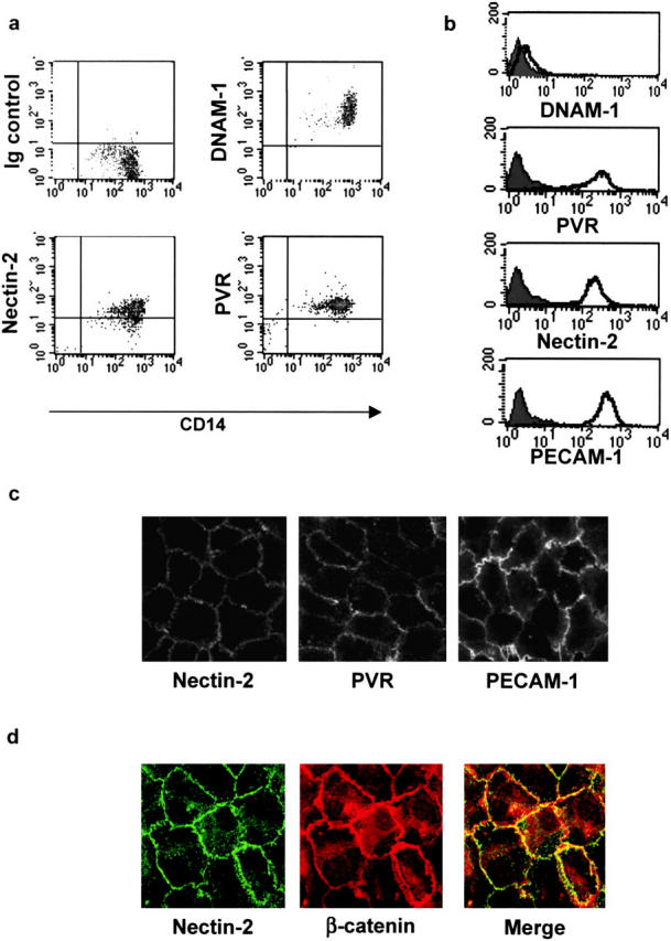 Analysis of the cell surface expression of DNAM-1, PVR, and Nectin-2 on monocytes and primary vascular endothelial cells. (a) Fresh PBMCs were gated on monocytes on the basis of both size and granularity. Cells were analyzed by two-color immunofluorescence and FACS ® analysis with anti-CD14 mAb in combination with anti–DNAM-1 (FS.123), anti-PVR (PV.404), or anti–Nectin-2 (R2.477) mAbs followed by FITC- or PE-conjugated goat anti–mouse second reagents. (b) HUVECs were analyzed by one-color immunofluorescence and FACS ® analysis with anti–DNAM-1 (FS123), anti-PVR (PV.404), anti–Nectin-2 (R2.477), or anti–PECAM-1 (JC/70A) mAbs followed by FITC-conjugated goat anti–mouse second reagents. Gray profiles indicate cells incubated with the second reagent only. We previously controlled that trypsin treatment does not affect cell surface expression of Nectins. Similar results were obtained when HUVECs were detached with 0.02% (wt/vol) disodium EDTA in PBS. (c) Localization of Nectin-2 and PVR on primary endothelial cells. HUVECs were fixed; incubated with 2 μg/ml of anti–Nectin-2 (R2.477), anti-PVR (PV.404), and anti–PECAM-1 (JC/70), followed by Alexa-488–labeled goat anti–mouse second reagent; and analyzed by immunofluorescence microscopy. Staining was similar on live cells (not depicted). (d) HUVECs were fixed, permeabilized, and stained with the anti–Nectin-2 (R2.477) mAb and the anti–β-catenin rabbit antiserum followed by Alexa-488–labeled goat anti–mouse antibody and TRITC-labeled goat anti–rabbit second reagents, respectively. Cells were analyzed by immunofluorescence microscopy.