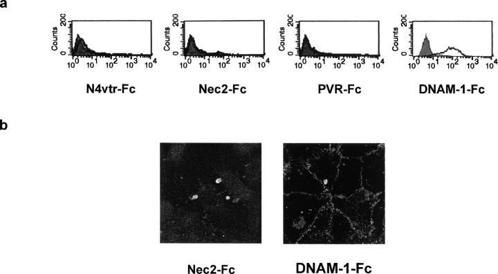 DNAM-1 recognizes junctional ligands expressed on endothelial cells. (a) HUVECs were analyzed by one-color immunofluorescence and FACS ® analysis with Nec2-Fc, PVR-Fc, DNAM-1–Fc, and N4vtr-Fc (negative control) followed by FITC-conjugated goat anti–human second reagents. Gray profiles indicate cells incubated with the second reagent only. All soluble proteins were used at 20 μg/ml. Similar results were obtained when HUVECs were detached with 0.02% (wt/vol) disodium EDTA in PBS. (b) Immunofluorescence microscopy analysis of HUVECs using 20 μg/ml DNAM-1–Fc followed by FITC-conjugated goat anti–human second reagents. No staining was revealed with Nec2-Fc. The DNAM-1–Fc staining delineates the junctional systems between adjacent cells suggesting that DNAM-1 interacts with ligands localized at endothelial cell junctions. Similar results were obtained on live confluent HUVECs (not depicted).
