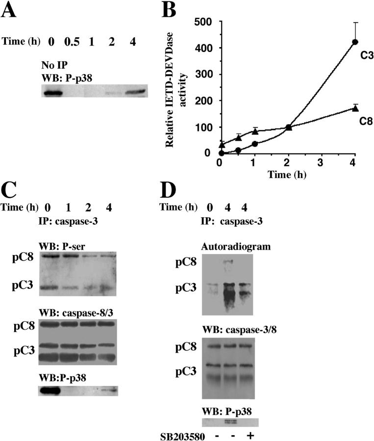 p38-MAPK–dependent phosphorylations of procaspase-8 and procaspase-3 in intact cells. Neutrophils were incubated with anti-Fas Ab for the indicated times and lysed. (A) Samples were taken for Western blot analysis with an anti-phospho–p38-MAPK (P-p38) antibody. The blot shown is representative of at least eight separate experiments. (B) Alternatively, lysate samples were analyzed for IETDase (C8) and DEVDase (C3) activities ( n = 6). To adjust for differences between blood batches, the caspase activities measured after 2 h were defined as 100%, and values at other time points were compared with that level. Caspase-3 immunoprecipitates were obtained from freshly isolated or 32 P-labeled neutrophils after the indicated periods of exposure to anti-Fas Ab. (C) Unlabeled neutrophils were lysed, and the immunoprecipitates were immunoblotted with an anti–phospho-serine Ab, stripped, and reprobed with a mixture of <t>anti–caspase-8</t> (detecting both the proform, pC8, and the active form) and anti–caspase-3 (detecting both the proform, pC3, and the active form) Abs and thereafter with an anti-phospho–p38-MAPK (P-p38) Ab. (D) The 32 P-labeled neutrophils were lysed, and immunoprecipitates were analyzed by gel electrophoresis and blotted. The blots were developed with a PhosphorImager and subsequently analyzed with a mixture of the anti–caspase-8 and the anti–caspase-3 Abs, stripped, and reprobed with the anti-phospho–p38-MAPK Ab. The blots and the autoradiogram in C and D are representative of at least three separate experiments.