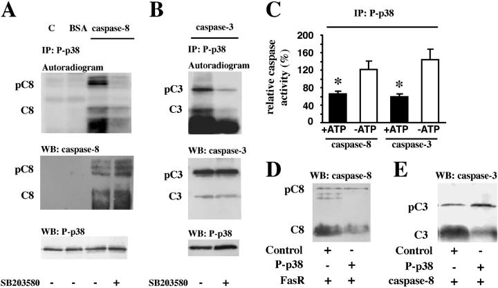 p38-MAPK–induced phosphorylations of caspase-8 and caspase-3 in vitro. (A and B) Active phosphorylated p38-MAPK immunoprecipitates from freshly isolated neutrophils were incubated with [γ- 32 P]ATP and recombinant caspase-8 or -3 in the absence or presence of the p38-MAPK inhibitor SB203580. As controls, the same reaction was performed in the absence of caspases but in the presence of either purified proteins from E. coli transformed with an empty vector (C) or BSA. All blots were first developed with a PhosphorImager, cut, and analyzed with (A) the anti–caspase-8 (pC8 and C8) Ab or (B) the anti–caspase-3 (pC3 and C3) Ab, and, lastly, stripped and reprobed with the anti-phospho–p38-MAPK (P-p38) Ab. The illustrated autoradiograms and blots are representative of at least seven separate experiments. (C) Active phosphorylated p38-MAPK (P-p38) was immunoprecipitated and incubated with recombinant caspase-8 and caspase-3 as substrates, in the presence or absence of ATP and under the same conditions as aforementioned. Thereafter, the activities of caspase-8 and caspase-3 were measured separately. The results are presented as percentage of the activities found in samples incubated in the same way but with an immunoprecipitate obtained using an isotype-matched control antibody. The data are expressed as mean ± SEM of seven separate experiments. The substrates, recombinant procaspase-8 (pC8) in D and recombinant procaspase-3 (pC3) in E, were incubated in the presence of ATP and either the immunoprecipitated active phosphorylated p38-MAPK (P-p38) or an immunoprecipitate obtained using an isotype-matched control antibody (Control). Thereafter, the in vitro amounts of the procaspases (pC8 and pC3) and caspases (C8 and C3), after incubations in the presence of (D) immunoprecipitated active Fas (FasR; n = 3) or (E) active caspase-8 ( n = 5), were analyzed by Western blotting.