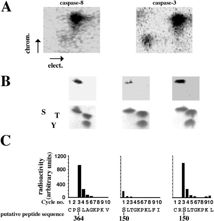 Identification of phosphorylation sites on caspase-8 and caspase-3. (A) Active phosphorylated p38-MAPK immunoprecipitates from freshly isolated neutrophils were incubated with [γ- 32 P]ATP and recombinant procaspase-8 or procaspase-3. The proteins were separated by SDS–gel electrophoresis, and the separated proteins were digested in situ with trypsin. The obtained phosphopeptides were separated on cellulose TLC glass plates (elect.), followed by ascending chromatography (chrom.). The indicated electrophoresis direction is from the anode to the cathode. The plates were analyzed in a PhosphorImager as well as exposed to an X-ray film. (B) The phosphopeptides from caspase-8 or caspase-3 were eluted from the TLC plates and subjected to two-dimensional phosphoamino acid analysis. The locations of the phosphoamino acids (top) were compared with that of phosphoamino acid markers (bottom) as follows: serine (S), threonine (T), and tyrosine (Y). The phosphopeptides obtained from A were subjected to amino acid sequencing (C), and the radioactivity released in each cycle was measured by spotting onto TLC plates and exposure on a Fuji image analyzer. The phosphorylated serine residues, 364 for caspase-8 (C) and 150 for caspase-3 (C), are indicated in the sequence of the putative fragment from caspase-8 and caspase-3, respectively. The illustrated phosphomapping is representative of three experiments.