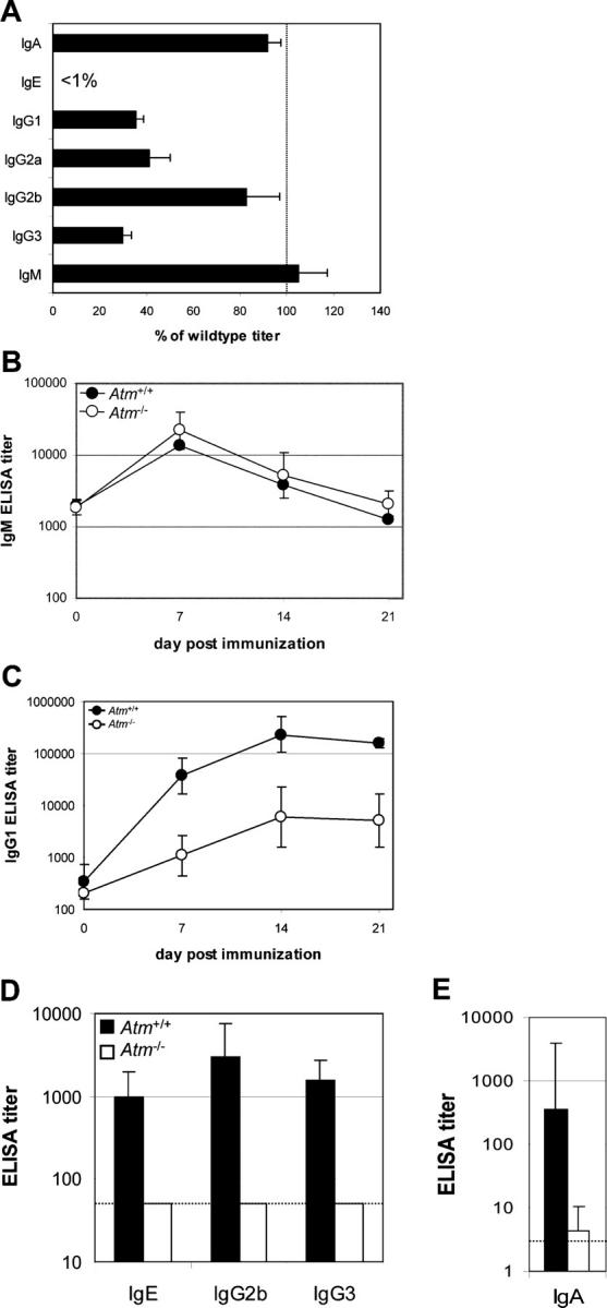 Impaired Ig production in Atm −/− mice. (A) Sera from eight Atm -deficient mice and littermate controls were assayed for total Ig levels by ELISA. IgE was undetectable by ELISA in sera from unimmunized mice. Results are displayed as the mean ± SEM Atm −/− titer as a percentage of the Atm +/+ controls. (B–D) Three Atm −/− mice and their WT littermates were immunized with TNP-KLH/Alum i.p., and serum was collected at the indicated time points. Serum levels of Ag-specific IgM (B) and IgG1 (C) were assayed by ELISA; data points represent the geometric mean ± geometric SEM of the ELISA titers. (D) Mice received a second immunization of TNP-KLH/Alum 40 d after the first immunization, and serum was collected after 8 d. Serum levels of total IgE and Ag-specific IgG2b and IgG3 were assayed by ELISA, and data points are displayed as the mean ± SD Atm −/− titer as a percentage of the Atm +/+ controls. The dotted line indicates the limit of detection. IgE, IgG2b, and IgG3 were undetectable in Atm −/− mice. Results are representative of two independent experiments. (E) Serum levels of Ag-specific IgA were measured in mice (five per group) immunized with TNP-KLH p.o., and serum was collected 4 d after the second immunization.