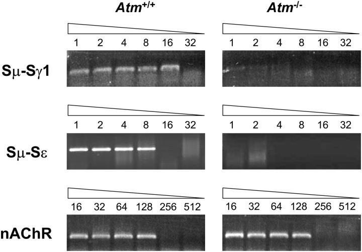 DC-PCR analysis of genomic switch recombination in wild type and Atm −/− B cells. Genomic DNA was isolated from B cells activated in vitro for 6 d, digested with EcoRI, and ligated with T4 DNA ligase. Twofold serial dilutions were used as a template for DC-PCR using primers specific for the recombined S regions. nAChR levels were also determined by DC-PCR to control for equal template loading. The results shown are representative of two independent experiments.