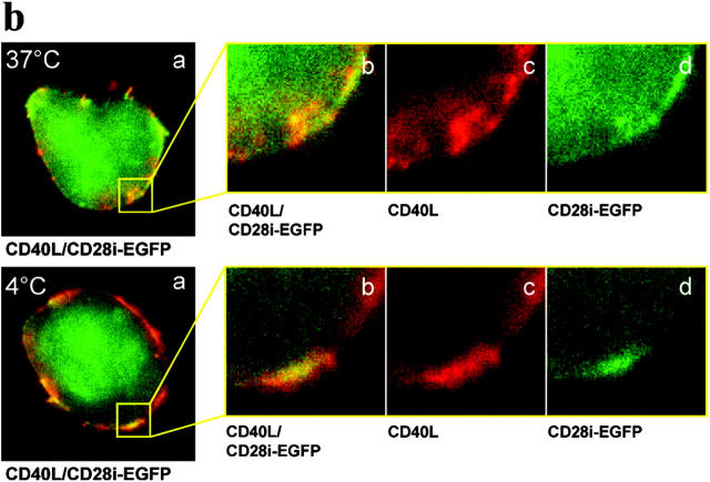 (a) The colocalization of CD28i with CD40L monitored by confocal microscopy. CD40L + Jurkat cell subline, D1.1 cell, was transfected with EGFP or CD28i-EGFP as indicated. In A, cells were surface stained with PE anti-CD40L Ab, PE anti-CD28 Ab, PE anti-CD2 Ab, or PE anti-CD3 as indicated below. In B, green fluorescence by EGFP or CD28i-EGFP expression was shown. In C, green fluorescence and red fluorescence were merged. (b) Anti-CD40L Ab induced coendocytosis of CD40L and CD28i. D1.1 cell was transfected with CD28i-GFP and incubated with PE anti-CD40L Ab at 37°C (top) or 4°C (bottom) for 30 min. Then cells were assayed by confocal microscopy. In panel a, CD40L and CD28i are merged. The magnified views of coendocytosis or control are shown in panel b. Panel c shows CD40L and panel d shows CD28i-EGFP staining.