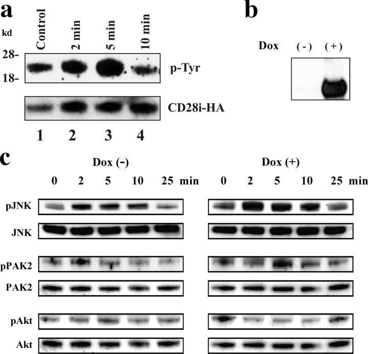 (a) Tyrosine phosphorylation of CD28i induced by CD40L stimulation. CD28-HA–transfected D1.1 cells were serum starved for 6 h and incubated with anti-CD40L Ab for 30 min on ice. Anti–goat IgG was added to start stimulation at 37°C for 2, 5, and 10 min. Nonidet P-40 cell lysates of the stimulated cells were immunoprecipitated with anti-HA Ab. Immunoprecipitates were analyzed on Western blots. The top panel was blotted with anti-Phosphotyrosine (RC20; indicated as p-Tyr). The same membrane was reprobed with anti-HA Ab (indicated as CD28i-HA). L, Ig light chain; lane 1, nonstimulated control; lane 2, CD40L stimulated for 2 min; lane 3, CD40L stimulated for 5 min; lane 4, CD40L stimulated for 10 min. (b) Induction of CD28i-HA expression by doxicyclin in D1.1 transfectant cells. CD28i-HA (∼23 kD) was expressed in D1.1 cells by doxicyclin-inducible promoter and whole cell lysates were assayed by HA-specific Western blotting. (−), doxicyclin-nontreated cells; (+), doxicyclin-treated cells (0.5 μg/ml for 48 h). (c) Overexpression of CD28i-HA enhances the activation of JNK and PAK2 in CD40L-stimulated D1.1 cells. Cells were stimulated with anti-CD40L Ab for periods of time indicated on top. Whole cell lysates were characterized with Western blotting specific for active-form JNK (represented by p46), PAK2 (∼64 kD), or Akt (∼60 kD), and indicated as pJNK, pPAK2, and pAkt on the left of each panel. To measure the level of proteins, the assay membranes were reprobed with JNK-, PAK-, or Akt-specific Abs and indicated as JNK, PAK2, or Akt on the left of each panel. Dox (−), cells not treated with doxicyclin; Dox (+), cells treated with doxicyclin.