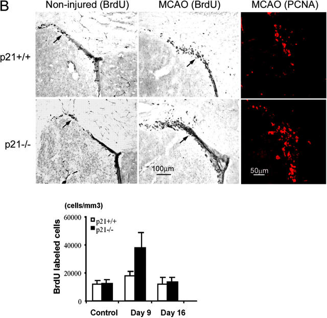 Increased cell proliferation in p21 −/− brain tissues after MCAO. BrdU was injected into the littermate or age-matched p21 −/− or p21 +/+ mice on day 7 and 8 or day 14 and 15; and animals were killed 9 d or 16 d after MCAO for 20 min. Immunohistochemistry was performed on free-floating 40-μm coronal sections pretreated by denaturing DNA, and a specific stereological analysis ( 18 ) was applied to enumerate the labeled cells per volume as detailed in Materials and Methods. A few BrdU-labeled cells were detected in the noninjured p21 −/− and p21 +/+ mice. There was an increased BrdU labeling (black cells) in the region corresponding to the SGZ of dentate gyrus in hippocampus (A) or the SVZ in lateral ventricle (B) after MCAO. Mean values from multiple experiments are summarized in the graphs under each histological picture. The noninjured samples are marked as control in the graph. Black and white bars indicate mean values ± SD from p21 −/− and p21 +/+ genotype, respectively. A significant increase of BrdU-labeled cells in both genotypes and a larger fraction of BrdU-positive cells in p21 −/− genotype was observed 9 d after MCAO (P