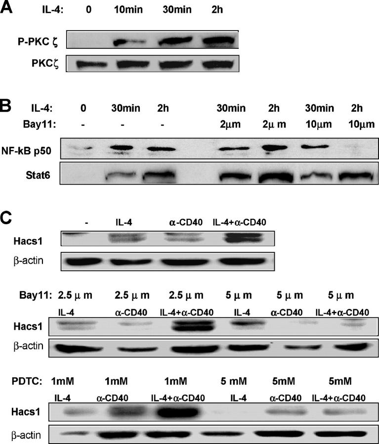 IL-4–activated PKCζ and up-regulation of Hacs1 was blocked by inhibition of NF-κB. (A) IL-4 induced phosphorylation of PKCζ in murine splenic B cells. B220 + cells were incubated with 10 ng/ml IL-4 for the indicated time, and expression of phosphorylated PKCζ was analyzed by Western blot. (B and C) Inhibition of NF-κB blocked nuclear expression of NF-κB and the subsequent up-regulation of Hacs1 by IL-4. B220 + cells were pretreated with or without Bay11-7082 or PDTC for 15 min and then incubated with 10 ng/ml IL-4 for the indicated time. The nuclear extracts or whole cell lysates were prepared and analyzed for expression of NF-κB p50 and Stat6 in nuclei (B) or for expression of Hacs1 in whole cells (C) by Western blot.