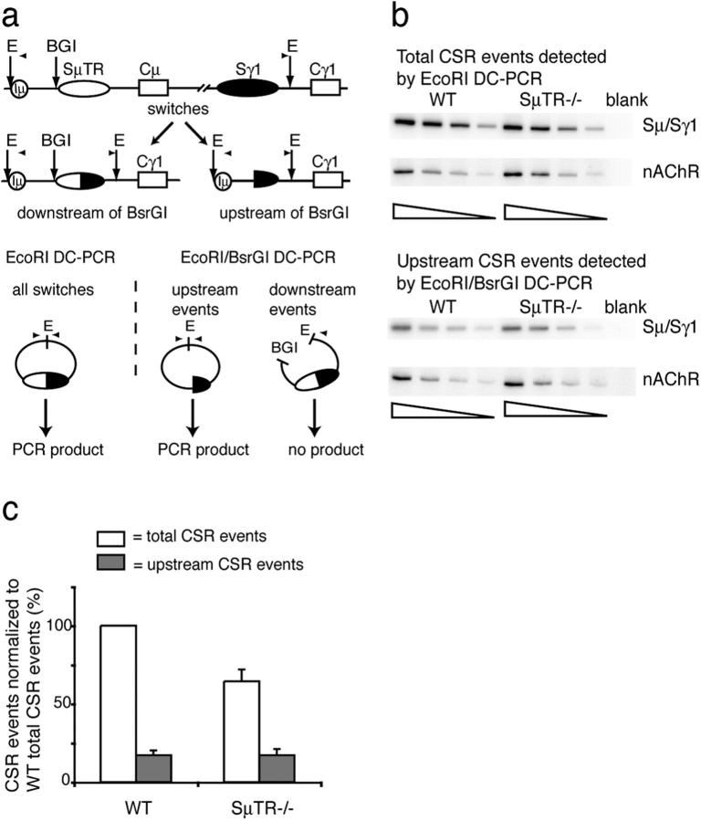 S μ TR − / − and wild-type mice have similar numbers of upstream CSR events. (a) DC-PCR measures CSR events upstream of the SμTR region. A BsrGI site distinguished CSR junctions located upstream and downstream of the site. Only CSR sites in sequences upstream of BsrGI generate PCR signals. Total CSR events are measured by EcoRI DC-PCR (E, EcoRI; BGI, BsrGI). PCR primers are indicated by arrowheads. (b) Twofold dilutions of genomic DNAs were assayed by Sμ/Sγ1 EcoRI DC-PCR and EcoRI–BsrGI DC-PCR. Samples were normalized using nAChR DC-PCR reactions. (c) CSR events in wild-type or SμTR −/− mice as percentages of total wild-type CSR events (set to 100%). Mean values and SEM are from six independent experiments with two mice per group.