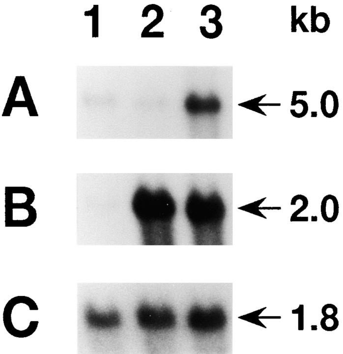 Expression of Elm1 and Cyr61 after serum stimulation of BALB/c 3T3 cells. 2 μg of poly(A) + RNA resolved electrophoretically were hybridized with the Elm1 ( A ) or Cyr61 ( B ) cDNA probe. The membrane was rehybridized with a human <t>β-actin</t> probe ( C ). poly(A) + RNA from quiescent cells (lane 1 ), cells stimulated with serum for 30 min (lane 2 ), and 3 h (lane 3 ) were loaded.