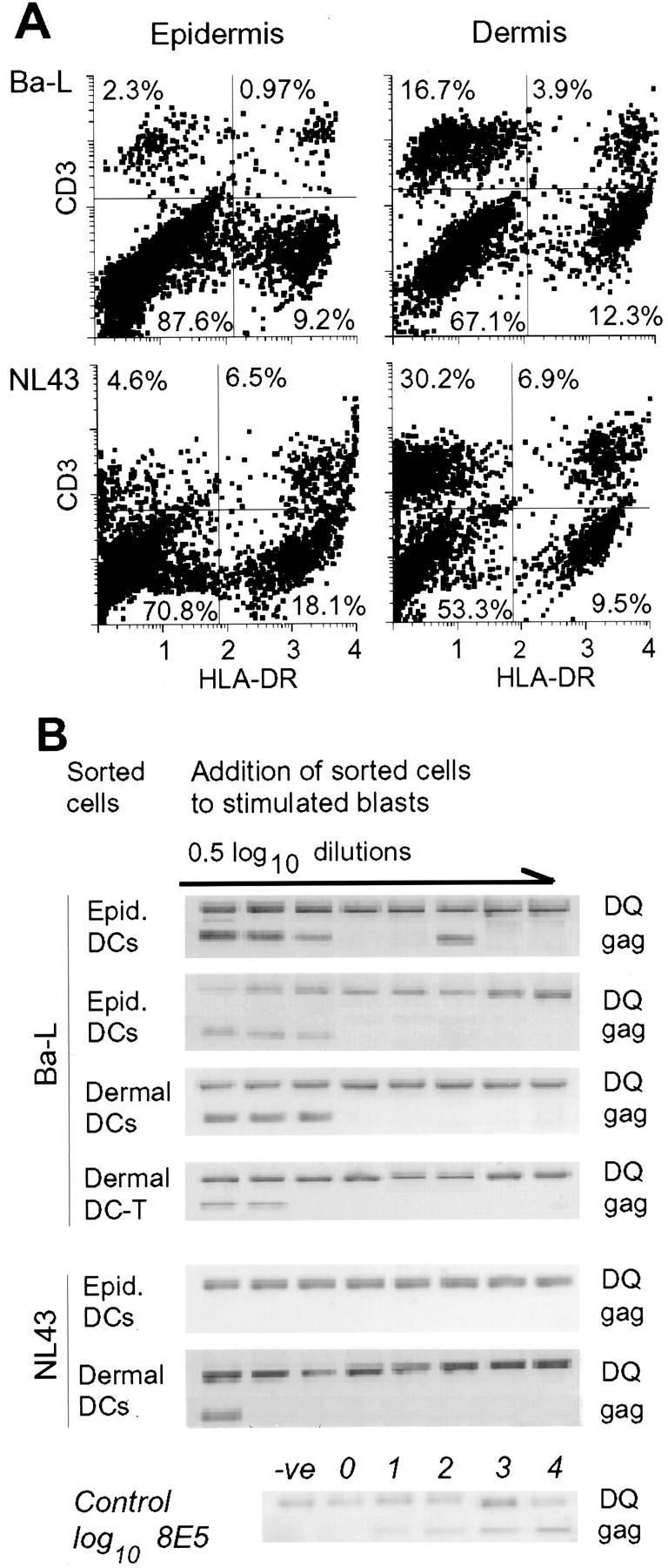 Dendritic cells in the epidermis select for macrophage tropic virus. Abraded skin explants were pulsed with 1,000 TCID 50 /ml (∼5,000 TCID 50 ) of HIV-1 Ba-L by adding virus to the medium overnight at 37°C. After dispase treatment, epidermal and dermal sheets were floated in medium for 3 d. Migrating cells were treated with collagenase and separated over a step metrizamide gradient, stained with FITC–HLA-DR and PE-CD3, and sorted for DCs using a cell sorter. ( A ) As previously shown ( 17 – 19 ), cells migrating from the dermis contained DCs, T cells, and DC–T cell conjugates, whereas cells from the epidermis contained DCs and DC–T cell conjugates, but few CD3 + cells. ( B ) Sorted cells were analyzed for their ability to transmit infection by diluting into coculture with T cells. Half log 10 dilutions of the sorted emigrant cells (10 4 ) were performed in 96-well plates with SEB-stimulated PBLs (10 5 /well) in medium containing 5% IL-2. Virus replication in cocultures was assessed by lysing cocultures on day 10 and analyzing for gag sequences using PCR. At the highest cell concentration, the PCR reactions contained the equivalent of 2,500 sorted cells. Duplicate dilution series for DCs sorted from epidermal emigrants and DCs, and DC–T cell conjugates from dermal emigrants from Ba-L exposed skin are shown. Dilution series for DCs sorted from epidermis and dermis of NL43 exposed skin are shown in the lower two panels.