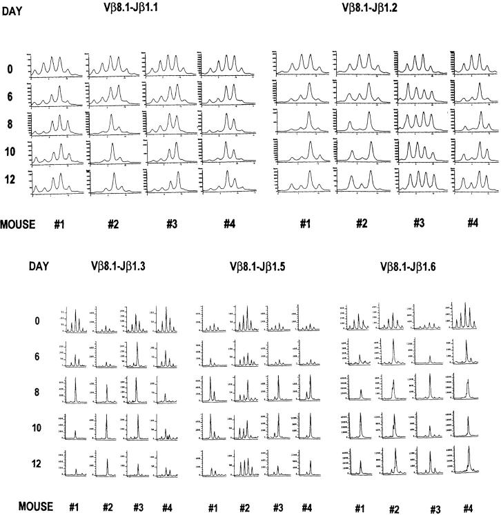 Preservation of Vβ8.1 spectratypes during the T cell apoptosis phase from days 8 to 12 after LCMV infection. The representative CDR3 profiles from the PB of four acutely LCMV-infected mice 6–12 d after infection are displayed. Since the naive spectratypes invariably have a normal Gaussian distribution, we plot at the top of each column day 0 spectratypes from two naive control mice. To avoid traumatizing the mice at the time of LCMV infection, day 0 samples were not taken from the same mice analyzed on the subsequent days. The PCR products were subjected to run-off reactions using [γ- 33 <t>P]ATP-labeled</t> (Jβ1.1 and Jβ1.2) or fluorescent (Jβ1.3, Jβ1.5, and Jβ1.6) Jβ primers.