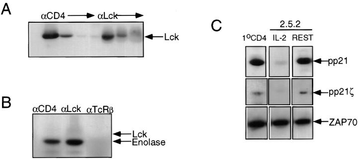 Kinase-active Lck is associated with the presence of a ZAP-70–pp21ζ complex and permissive anti–TCR-α/β signaling . ( A ) CD4 + primary lymph node T cells were purified as described in Materials and Methods. Lysate derived from 4 × 10 6 cell equivalents was subjected to four sequential precipitations with mAb specific for CD4, followed by three sequential precipitations with <t>polyclonal</t> anti-Lck. Precipitates were resolved by 8% SDS-PAGE, transferred to nitrocellulose, blocked, probed with polyclonal anti-Lck, followed with HRP-conjugated Protein A, and developed using DuPont EC L reagents. ( B ) CD4 + lymph node T cells were purified as described in Materials and Methods. Immune complex kinase assays were performed as described in Materials and Methods, on precipitates derived from lysate containing 4 × 10 6 cell equivalents with mAbs specific for CD4, TCRCβ, and polyclonal anti-Lck. ( C ) The top row shows the pp21 signal associated with anti–ZAP-70 precipitates from lysates (5 × 10 6 cell equivalents) derived from primary CD4 + lymph node T cells, and clone 2.5.2 cultured in the presence ( IL-2 ) or absence ( REST ) of rIL-2. Anti–ZAP-70 precipitates were resolved on 12.5% SDS-PAGE, transferred to nitrocellulose, probed with 4G10 mAb specific for phosphotyrosine, developed with goat anti–mouse HRP-conjugated <t>IgG,</t> and revealed with DuPont EC L reagents. The middle row shows the pp21ζ signal associated with the anti–ZAP-70 precipitates. The blot shown in the top row was stripped and reprobed with ζ chain–specific mAb. The bottom row shows the same series of precipitations as in the top row, but immunoblotted with polyclonal anti–ZAP-70, developed with HRP-conjugated Protein A, and revealed with DuPont EC L reagents.