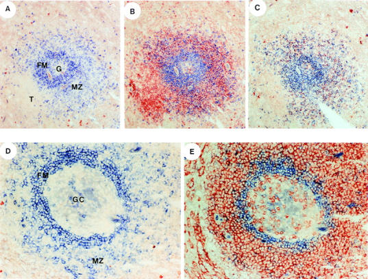 Localization of CD148 + CD27 + and CD148 − CD27 − B cells in follicles of human spleen. Serial tissue sections of human spleen were incubated with anti-IgD antiserum alone ( blue ; A and D ), anti-IgD antiserum ( blue ) and anti-CD27 mAb ( red ; B and E ), or anti-IgD antiserum ( blue ) and anti-IgM mAb ( red ; C ). The anti-IgD polyclonal antibody was visualized after the addition of alkaline phosphatase–conjugated anti–goat Ig and phosphatase-specific substrate. The anti-CD27 or anti-IgM mAb was visualized by an anti–mouse Ig-specific Vectastain kit. Original magnification of A , B , and C : ×40; of D and E : ×100. The follicular mantle zone ( FM ), marginal zone ( MZ ), germinal center ( G or GC ), and T cell zones ( T ) are indicated.