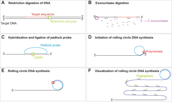 In situ detection of DNA using padlock probes and target primed rolling circle DNA synthesis . (A) The samples are cleaved with a restriction enzyme having a restriction site positioned 3' to the probe binding sequence. It is important that the enzyme does not have any other cleavage sites in close proximity to the 5'-end of the probe binding sequence to avoid degradation of the recognition sequence during exonuclease treatment. (B) The target sequence is made single stranded using the lambda exonuclease which digests duplex DNA in the 5'→3' direction in a highly processive manner, thereby making the target sequence single stranded. (C) The padlock probe is hybridized and ligated on the target sequence. Only padlock probes which are correctly hybridized at the point of ligation will be circularized. (D-E) The rolling circle reaction is initiated by using the target sequence as a primer, thereby locking the rolling circle product to the target sequence. (F) The rolling circle product is visualized by hybridizing a labeled oligonucleotide to the part of the padlock probe not recognizing the genomic hybridization target.