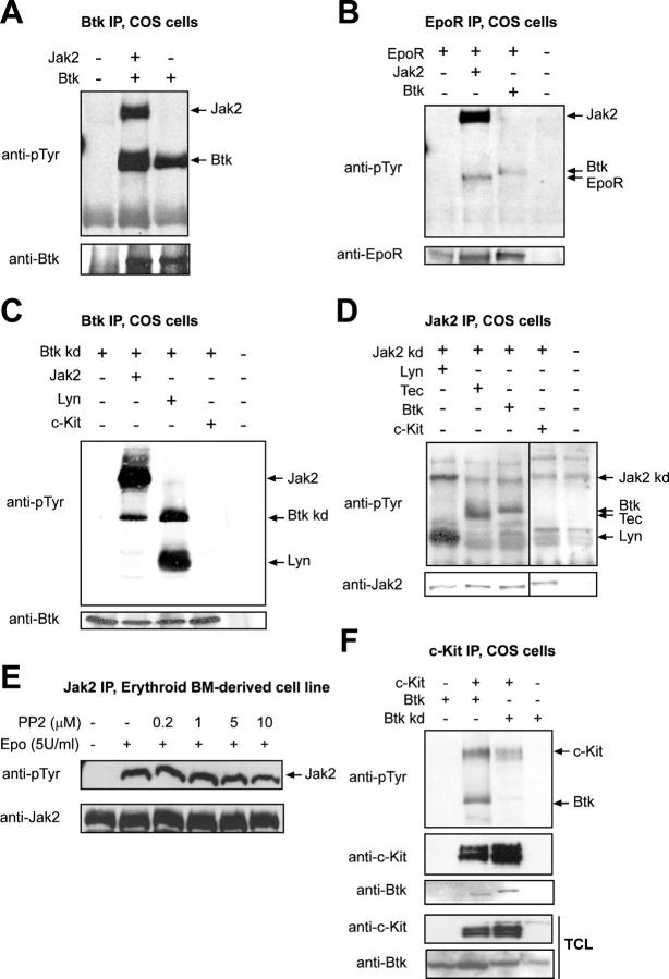 Btk coimmunoprecipitates with and is a substrate of Jak2. (A–D and F) COS cells were transfected with pSG5-based expression constructs encoding the indicated proteins. Expression of all proteins was verified in Western blots using specific antibodies (not depicted). After 48 h, cells were stimulated with 5 U/ml Epo (B) or 500 ng/ml SCF (C, lane 4; D and E, lane 4) for 10 min, harvested, and lysed, and Btk (A and C), EpoR (B), Jak2 (D), and c-Kit (F) were immunoprecipitated. (top panels) Immunoblots were stained with antiphosphotyrosine antibodies (PY99). The blots were restained with antibodies recognizing the immunoprecipitated proteins to check for equal loading. Arrows indicate the position of the immunoprecipitated and coimmunoprecipitating proteins. (E) wt erythroid progenitors (2B6) were factor deprived in the absence or presence of the Src kinase family inhibitor PP2 as indicated and stimulated with Epo for 10 min. Epo-induced Jak2 phosphorylation was assayed on immunoblots using PY99 (top). (bottom) Blots were restained with anti-Jak2 to confirm equal loading. (F) c-Kit immunoprecipitates were stained with antiphosphotyrosine antibodies (PY99), and blots were restained with anti–c-Kit and anti-Btk antibodies, whereas total cell lysates (TCLs) were stained with anti–c-Kit and anti-Btk to check expression levels.