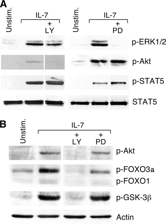IL-7 induces PI3K-dependent phosphorylation of Akt, GSK-3, FOXO1, and FOXO3a, and MEK-dependent phosphorylation of Erk1/2 in T-ALL cells. IL-7–deprived TAIL7 cells were pretreated with 10 μM LY294002 (LY) or 10 μM PD098059 (PD) for 2 h, and then stimulated with IL-7 for 15 min. (A) Western blot analysis was performed with P-Erk1/2, P-Akt antibodies (see legend to Fig. 1 ), and an antibody specific for Tyr694/Tyr699-phosphorylated-STAT5A/B (P-STAT5) to confirm that LY294002 and PD98059 were specific inhibitors of the PI3K–Akt and MEK–Erk pathway, respectively. (B) GSK-3β, FOXO1, and FOXO3a phosphorylation is dependent on PI3K activity. Western blot analysis was performed with P-Akt, P-GSK3β, and P-FOXO1/FOXO3a antibodies. Anti-STAT5 (A) and actin (B) antibodies were used to confirm equal loading. Representative results from three independent experiments are shown.