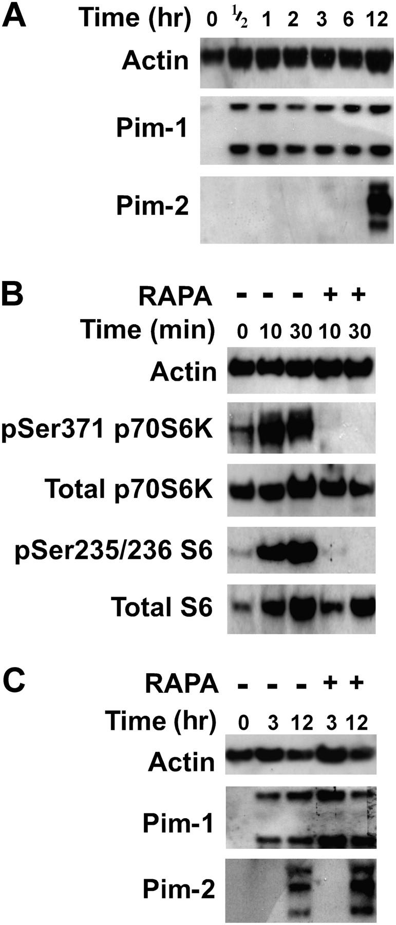 The Pim kinases confer rapamycin-resistant T cell blastogenesis. (A) C57BL/6 splenic T cells were activated by αCD3/αCD28 and lysates were prepared after 0, 1/2, 1, 2, 3, 6, and 12 h of stimulation and serially probed for the expression of actin, Pim-1, and Pim-2 proteins by Western blot. (B) Activation-induced p70S6K and S6 phosphorylation is rapamycin sensitive. C57BL/6 splenic T cells were preincubated for 1 h in the presence (+) or absence (−) of 50 nM RAPA and activated with αCD3/αCD28 for 0, 10, and 30 min. Lysates were probed for actin, phospho-serine 371-p70 S6 kinase (pSer371 p70S6K), total p70S6K, phospho-serine 235/serine 236-S6 (pSer235/236 S6), and total S6 expression. (C) In the experiments described in B, Western blots were also performed with lysates from rapamycin-treated and control cells after 3 and 12 h of activation and probed for actin, Pim-1, and Pim-2 expression. (D) Splenic T cells from Pim-1 +/+ 2 +/+ , Pim-1 −/− 2 +/+ , Pim-1 +/+ 2 −/− , and Pim-1 −/− 2 −/− mice were activated by αCD3/αCD28 in the absence (−) or presence (+) of 25 nM RAPA (key). Control cells were cultured with αCD28 only (αCD28). After 2 d of culture, forward scatter, and surface CD69, CD25, and CD62L expression was assessed. (E) Cell cycle was assessed in the Pim-1 +/+ 2 +/+ and Pim-1 −/− 2 −/− T cells described in D by BrdU incorporation analysis. The percentage of cells in the G 1 (2N-PI + BrdU − ; bottom left), S (PI + BrdU + ; top), and G 2 M (4N-PI + BrdU − ; bottom right) phases of the cell cycle is shown (insets). Results shown are representative of six experiments. (F)5-(and 6-)carboxyfluorescein diacetate, succinimidyl ester–labeled input T cells from Pim-1 +/+ 2 +/+ or Pim-1 −/− 2 −/− mice were activated for 4 d in the presence (+) or absence (−) of 25 nM RAPA. Control cells were cultured with αCD28 only for 2 d (αCD28) and showed no decay in fluorescence relative to input cells at day 0. Numbers above the leftmost brackets represent the percent of cells that had divided more than three generations. For Pim-1 −/− 2 −/− cells, the majority of the input population failed to divide (*). Data are representative of three experiments.