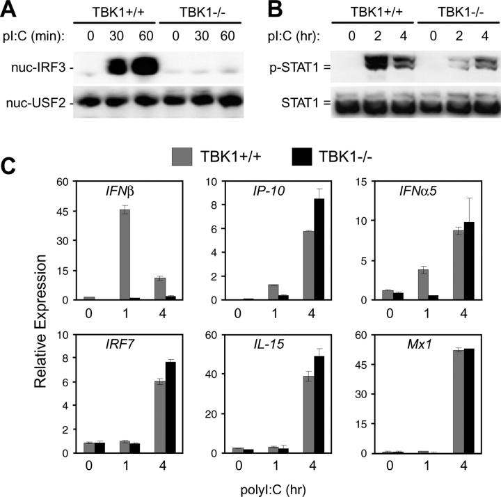 TBK1-deficient BMMs have defective type I IFN responses to polyI:C. TBK1 +/+ TNFR1 +/− and TBK1 −/− TNFR1 −/− BMMs were stimulated with 1 μg/ml polyI:C for the indicated time points. (A) Nuclear fractions were probed for IRF3 and USF2 as a loading control. (B) Total cell extracts were probed for phospho-STAT1 and total STAT1. (C) Total RNA was extracted and analyzed by Q-PCR for expression of IFNβ, IP-10, IFNα5, IRF7, IL-15, and Mx1.