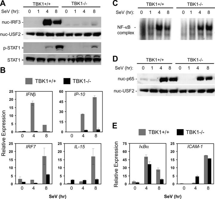 TBK1-deficient MEF cells have impaired IFN responses to SeV. Wild-type and TBK1 −/− MEF cells were infected with SeV for the indicated time points. (A) Nuclear fractions were probed for IRF3 and USF2 as a loading control. Total cell extracts were probed for phospho-STAT1 and total STAT1. (B) Total RNA was extracted and analyzed by Q-PCR for expression of IFNβ, IP-10, IRF7, and IL-15. (C) EMSA was performed by incubating nuclear extracts were with an NF-κB-specific oligonucleotide. (D) Nuclear fractions were probed for p65 and USF2. (E) Total RNA was extracted and analyzed by Q-PCR for expression of ICAM1 and IκBα.
