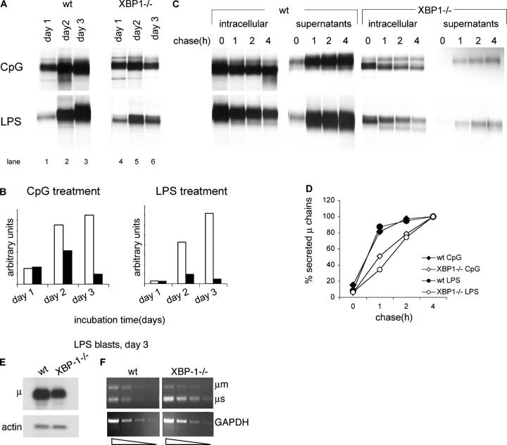 High levels of biosynthesis and secretion of IgM require <t>XBP-1.</t> (A) 10 6 live cells, as determined by trypan blue exclusion, were pulse-labeled with [ 35 S]methionine for 30 min. Cells were lysed in 1% SDS, and lysate was diluted to 0.07% SDS with NP-40 lysis mix followed by immunoprecipitation with anti-μ antibodies and analysis by SDS-PAGE (10%). (B) Autoradiograms were quantified by phosphoimager. Empty bars, WT B cells; black bars, XBP1 −/− B cells. (C) Cells stimulated for 3 d with LPS or CpG were pulse-labeled with [ 35 S]methionine for 30 min and chased for up to 4 h. Cells were lysed in 1% SDS; lysate was diluted to 0.07% SDS with NP-40 lysis mix followed by immunoprecipitation with anti-μ antibodies. At each time point, IgM also was recovered from the media by immunoprecipitated with anti-μ antibodies. Immunoprecipitates were analyzed by SDS-PAGE (10%). Each lane represents material from 10 6 live cells. (D) Autoradiograms were quantified by phosphoimager. Secreted μ chains were expressed as percentage from μ chains recovered after 4-h chase. (E) RNA was extracted from day 3 LPS-treated WT or XBP-1 −/− B cells and analyzed by Northern blotting. Quantification indicates a 2.6-fold reduction in μ mRNA levels in XBP-1 −/− cells. (F) Semi-quantitative <t>RT-PCR</t> analysis of cDNA prepared from RNA of day 3 LPS-treated WT or XBP-1 −/− B cells. Threefold dilution series of the cDNA were used as input material for the PCR with primers specific for μ chains or GAPDH as a reference. The analysis indicates a less than threefold reduction in μ mRNA levels in XBP-1 −/− cells.