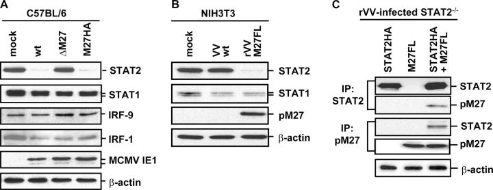 pM27 selectively affects STAT2. (A) pM27 down-regulates STAT2. C57BL/6-MEFs were either mock infected or infected with MCMV-WT, ΔM27-MCMV, or M27HA (10 PFU/cell each) for 24 h. Equivalent amounts of cell lysates were subjected to SDS-PAGE and analyzed by Western blot for STAT2, STAT1, IRF9/p48, IRF1, MCMV IE1/pp89, and β-actin. (B) NIH 3T3 were either mock infected, infected with VV-WT as a control, or infected with rVVM27FL (5 PFU/cell each). Cell lysates were prepared 16 h p.i. and analyzed by Western blot for STAT2, STAT1, pM27, and β-actin. (C) pM27 forms a complex with STAT2. STAT2 −/− fibroblasts were infected with rVV expressing M27FL or STAT2-HA, or coinfected with both viruses (3 PFU/cell each). Cell lysates were prepared 8 h p.i. using an EMSA buffer, split into two aliquots, and subjected to immunoprecipitation using anti-HA and anti-FLAG antibodies, respectively. Immunoprecipitates were analyzed by Western blot for STAT2, pM27, and β-actin.