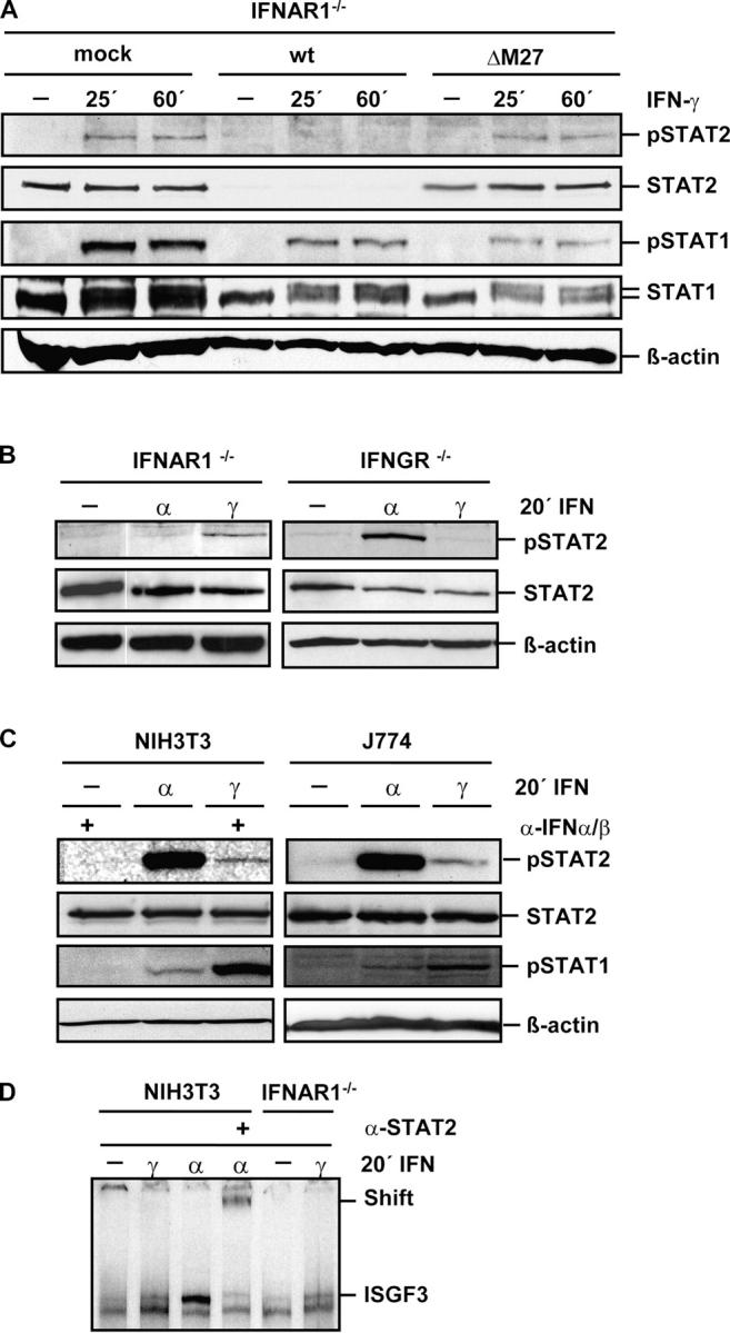 Phosphorylation of STAT2 in response to IFN- γ . (A) Primary IFNAR1-deficient MEFs were either mock infected or infected with MCMV-WT or ΔM27-MCMV (10 PFU/cell each) for 24 h before being exposed to 500 U/ml IFN-γ for the indicated time. Equivalent amounts of cell lysates were subjected to SDS-PAGE and analyzed by Western blot for p-Tyr 689 STAT2, and reprobed for STAT2, p-Tyr 701 STAT1, STAT1, and β-actin. (B) Primary IFNAR1- and IFNGR-deficient MEFs were either left untreated or treated with IFN-α (100 U/ml and 10 U/ml, respectively) or 500 U/ml IFN-γ for 20 min. Equivalent amounts of cell lysates were analyzed by Western blot for p-Tyr 689 STAT2 and reprobed for STAT2 and β-actin. (C) NIH 3T3 fibroblasts and J774 macrophages were either left untreated or treated with 50 U/ml IFN-α or 500 U/ml IFN-γ for 20 min. 50 NU/ml type I neutralizing antibodies were added as indicated to remove endogenously produced IFN-β. Equivalent amounts of cell lysates were analyzed by Western blot for p-Tyr 689 STAT2, and reprobed for STAT2, p-Tyr 701 STAT1, and β-actin. (D) NIH 3T3 fibroblasts and IFNAR-deficient MEFs were not exposed or exposed to 500 U/ml IFN-γ or 50 U/ml IFN-α for 20 min. Equal protein amounts from 1:1 mixtures of nuclear and cytoplasmic cell extracts were evaluated by EMSA with an ISRE probe (reference 47 ). Supershifting was performed by the addition of a STAT2-specific antibody before incubation with the probe. The mobility of ISGF3 is indicated in the right margin.